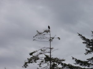 Bald Eagle, Whidby Island