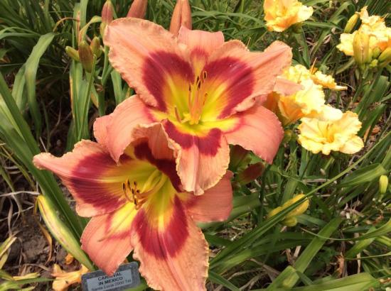 Bright orange lilies
