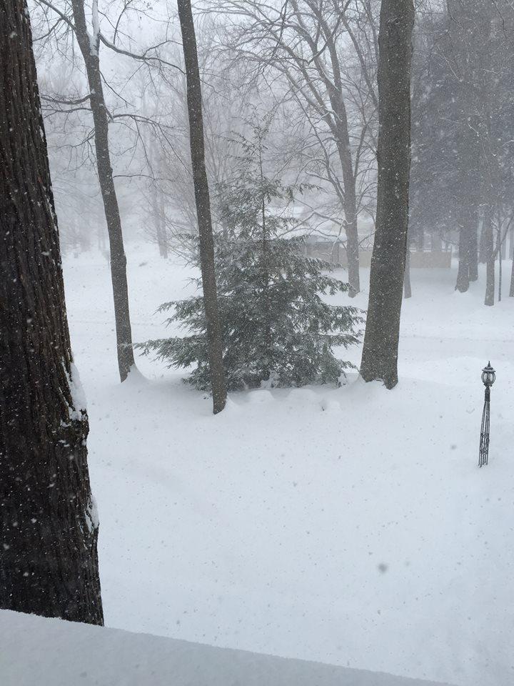 Norfolk pine in a snowstorm