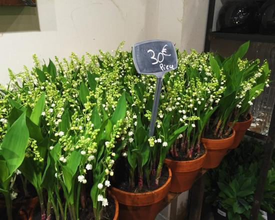 Pots of lily of the valley