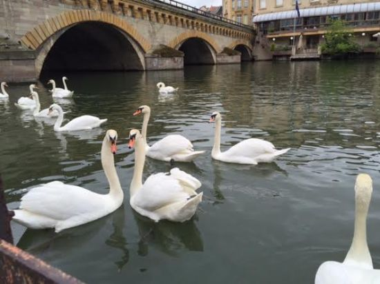Moselle River, swans