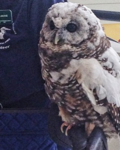 Northern spotted owl at the Wild Arts Festival