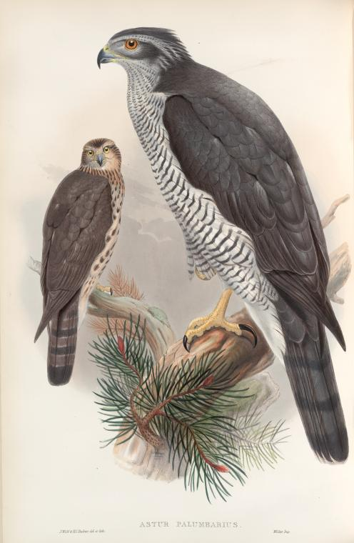 Two goshawks